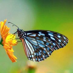 Farfalle da Collezione di Tutto il Mondo in cornice – entomologia